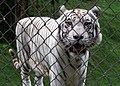 Pana'ewa Rainforest Zoo--Namaste the White Tiger 20 (4488484810).jpg