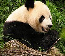 5687c585cf6b22 Džinovska panda — Vikipedija