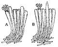 Panellus stipticus hymenium xsection.jpg
