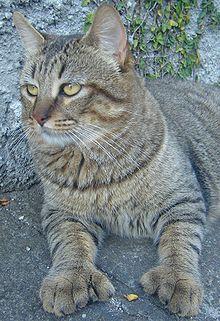 Le Chat du grand Nord dans CHAT 220px-Pantanal_Pixie-Bob