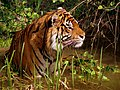 Panthera tiger in a marshy area in captivity.jpg