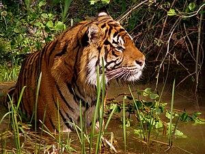 Wildlife - The tiger (Panthera tigris).