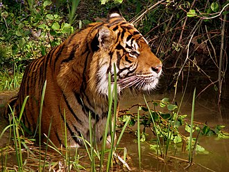 Wildlife - A tiger (Panthera tigris)