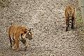 Panthera tigris jacksoni at Parc des Félins 08.jpg