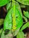 Papilio Polyetes 08062012 (1).jpg