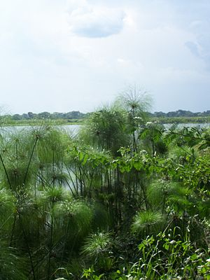 Cyperus papyrus - Papyrus growing wild on the banks of the Nile in Uganda