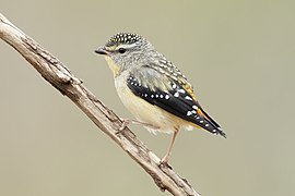 Pardalotus punctatus - Glen Davis.jpg