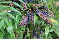 Park and Tilford Spring Garden Oregon-grape 01.JPG