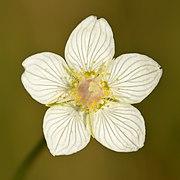 Parnassia palustris - Niitvälja bog2.jpg
