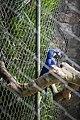 Parque Zoológico de São Paulo - Sao Paulo Zoo - Arara Azul Grande (arara-jacinto, araraúna, arara-preta ou araruna) - Hyacinthine Macaw (11539858654).jpg