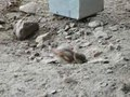 File:Passer domesticus sandbath at zoo video 1.ogv