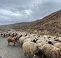 Pastoreo de ovejas, Chambarak.jpg