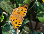 Peacock Pansy, Burdwan, West Bengal, India 31 01 2013 01.jpg