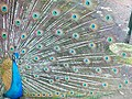 Peacock at dholadhar.jpg