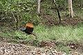 Peacock in Nagzira - panoramio.jpg