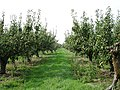 Pear orchard - geograph.org.uk - 239741.jpg