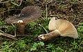 Pechschwarze Milchling Lactarius picinus.jpg