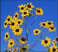 Pecos sunflower.jpg