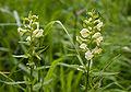 Pedicularis yezoensis 01.jpg