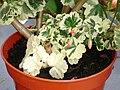 Pelargonium.Variegatum.jpg