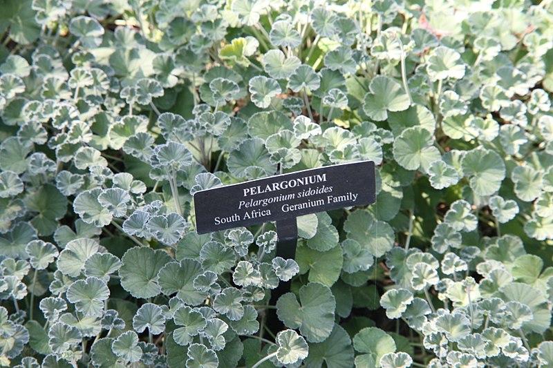 Umckaloabo hojas