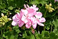 Pelargonium x hortorum Designer Light Pink 0zz.jpg