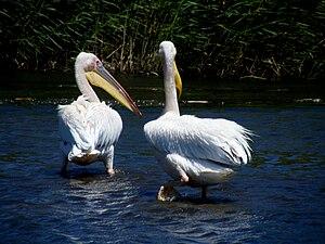 Liesbeek River - Great white pelicans in the Liesbeek River