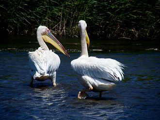 Liesbeek River - Great white pelicans in the Liesbeek River
