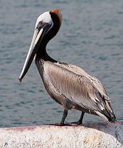 Pelican 4995.jpg