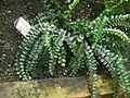 Pellaea rotundifolia 080622 061 Pj.jpg