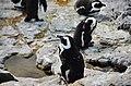 Penguin colony in Hermanus 04.jpg