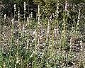 Penstemon palmeri 8.jpg