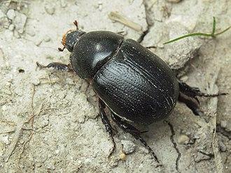 Dynastinae - Pentodon idiota (Pentodontini)