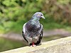Perching pigeon in Birkenhead Park.jpg