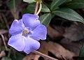 Periwinkle (Vinca minor) - Flickr - Jay Sturner.jpg