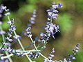 Perovskia atriplicifolia (Russian sage) 7 (49081463902).jpg