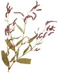 Persicaria extremiorientalis MU-V-000107130.png