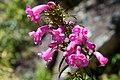 Peru - Machu Picchu 049 - pretty wildflowers (7181905559).jpg