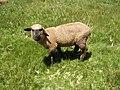Peruvian Lamb (110364557).jpg