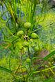 Pfeilkraut Samen, lat- Sagittaria.jpg