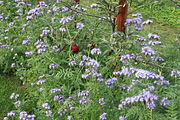 Phacelia-Bienenweide zwischen Apfelbäumen 01.jpg