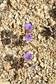 Phacelia fremontii (joedecruyenaere) 001.jpg