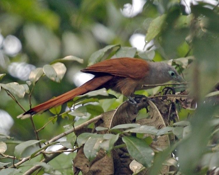 File:Phaenicophaeus chlorophaeus.jpg