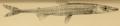 Phago loricatus Gunther 1865.png
