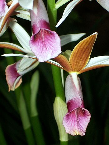 English: Phaius australis flowers, Royal Botan...