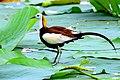 Pheasant tailed jacana 2016.jpg