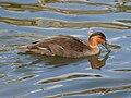 Philippine Duck (Anas luzonica) RWD1.jpg