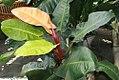 Philodendron Kaleidoscope 1zz.jpg