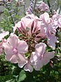 Phlox paniculata Rosa Pastell Belle1UME.JPG