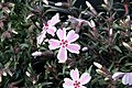 Phlox subulata Candy Stripe 8zz.jpg